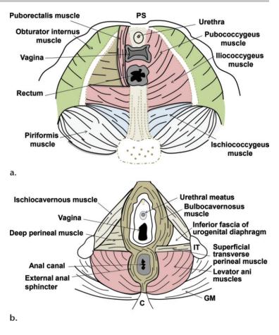 Pubococcygeus Levator ani