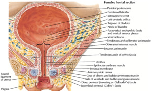 What should a female urethra look like